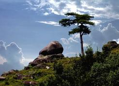 杨公手植九尾杉